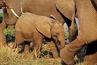 Young African elephant calf walking with herd.  Africa.