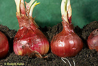HS16-029a  Onion - red onions growing, soil profile