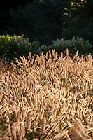 Grass garden flowering seed heads of Fountain Grass, Pennisetum alopecuroides