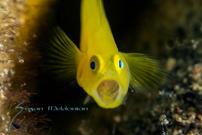 Anilao, Golden Goby, Lubricogobius ornatus, macro critters, muck diving, Philippines