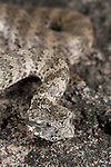 Common Death Adder (Acanthophis antarcticus) well camouflaged in its natural habitat