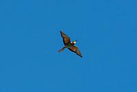 """Ein """"Bienenfresser"""" (Merops apiaster) auf Sizilien. Der Bienenfresser gehoert zu den in Afrika ueberwinternden Zugvoegeln. Sein Verbreitungsgebiet reicht von Suedwest- und Vorderasien, Nordwestafrika sowie Sued- und Suedosteuropa nordwaerts bis Suedostpolen. In Deutschland galt er Ende der 1980er Jahre als ausgestorben, seit 1990 wandert er jedoch wieder ein. <br /> 29.7.2020, Petralia Sottana<br /> Copyright: Christian-Ditsch.de<br /> NUR FUER REDAKTIONELLE ZWECKE! Werbung nur auf Anfrage beim Fotografen. [Inhaltsveraendernde Manipulation des Fotos nur nach ausdruecklicher Genehmigung des Fotografen. Vereinbarungen ueber Abtretung von Persoenlichkeitsrechten/Model Release der abgebildeten Person/Personen liegen nicht vor. NO MODEL RELEASE! Don't publish without copyright Christian-Ditsch.de, Veroeffentlichung nur mit Fotografennennung, sowie gegen Honorar, MwSt. und Beleg. Konto: I N G - D i B a, IBAN DE58500105175400192269, BIC INGDDEFFXXX, Kontakt: post@christian-ditsch.de<br /> Bei der Bearbeitung der Dateiinformationen darf die Urheberkennzeichnung in den EXIF- und  IPTC-Daten nicht entfernt werden, diese sind in digitalen Medien nach §95c UrhG rechtlich geschuetzt. Der Urhebervermerk wird gemaess §13 UrhG verlangt.]"""