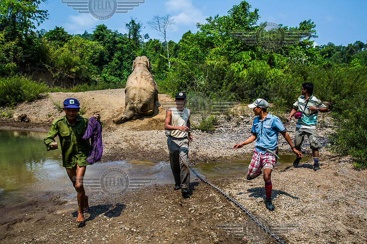 A team of two veterinarians, one tranquiliser shooter, and mahouts run away from the half-awake Thaung Cho, whom they had earlier incapacitated in order to cut the tip off his dangerous tusks. The aggressive bull elephant had killed two men while under the influence of musth, a periodic condition characterised by high testosterone levels.