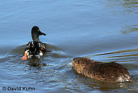 0721-0804  Nutria (Myocastor coypus) Chasing a Northern Shoveler (Anas clypeata), Nutria exhibiting territorial behavior © David Kuhn/Dwight Kuhn Photography
