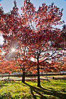 Beautiful red trees on a sunny day at the Boston Commons park in Boston