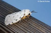 0510-1007  Salt Marsh Moth - Hodges#8131, Estigmene acrea  © David Kuhn/Dwight Kuhn Photography