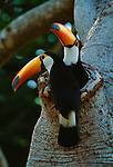 A mated pair of toucans pause briefly as they exchange incubating duty at the entrance to their nest cavity. I waited patiently for the moment when both adults were perched at the nest opening.<br />