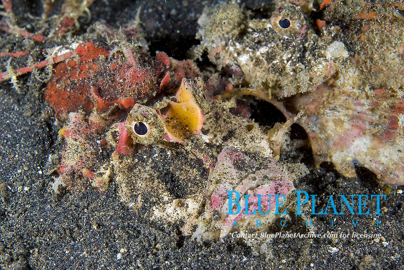demon stinger, Inimicus didactylus, Lembeh Strait, Sulawesi, Indonesia, Indo-Pacific Ocean