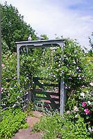 Blue Clematis climbing vine on arbor trellis garden gate, roses Rosa, Nepeta catmint