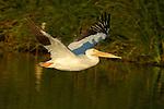 White Pelican in Flight at Sunset, American White Pelican, Sepulveda Wildlife Refuge, Southern California