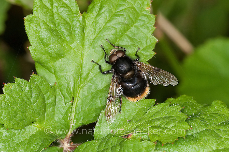 Hummel-Waldschwebfliege, Pelzige Hummel-Schwebfliege, Hummelschwebfliege, Männchen, Volucella bombylans, Bumblebee mimic hoverfly