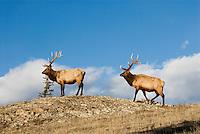 Rocky Mountain Bull Elk (Cervus elaphus)