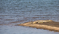 A Nile crocodile naps near the river in Kruger National Park.