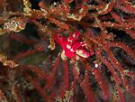 Okenia nakamotoensis nudibranch, Bohol, Philippines 2016