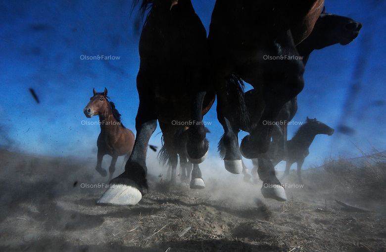 Wild horses thunder across dry desert range lands in the summer heat in Nevada.  A mythic symbol of freedom, more than 30,000 horses roam on public lands--half of them in Nevada.
