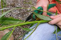 Mädchen flechtet, flicht aus Weidenzweigen einen Korb im Garten, Weide, Weiden, Basteln, Bastelei, Weidenkorb. 2. Schritt: die Zweige von Weide, Weidenzweige werden entastet und entblättert