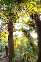 Morning backlight on leaves, palm tree fronds of Brahea edulis (Guadalupe Palm, Palma de Guadalupe) in Worth Garden, California
