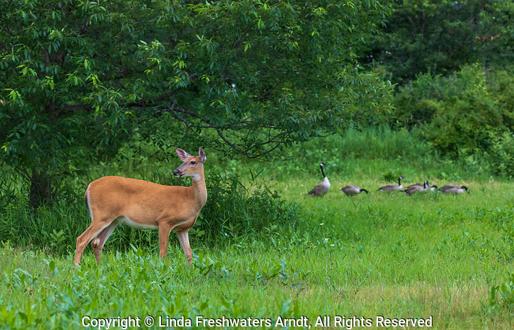 White-tailed doe and a flock of Canada geese in northern Wisconsin.