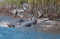 strand-feeding bottlenose dolphins, Tursiops truncatus, compete with gulls to snatch up fish they have forced onto the bank of a salt marsh (note fish in mouth of dolphin on right), S. Carolina, Atlantic Ocean (3 of 3)