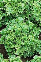 HS21-719x  Lettuce - Loma - Summer Crisp/Batavia