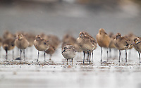 Red Knot (Calidris canutus) during fall migration in Western Alaska. Bristol Bay, Alaska. August.