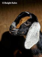 SH05-016z   Goat - Nubian, kid