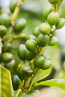 France, île de la Réunion, Chaloupe Saint-Leu, fruits de caféier verts dans la  plantations de café Bourbon Pointu de  Maximilia Vitry//  France, Reunion island (French overseas department),Chaloupe Saint Leu, Unripe coffee berries in   Maximilia Vitry  coffee plantations Bourbon Pointu