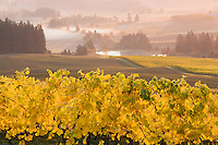 Five Mountains Vineyard with fall color. Oregon
