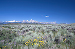 Near Mormon Row, wildflowers front the view across Antelope Flats to the Teton Range.  Grand Teton National Park, United States, Wyoming.  Mormon Row is a line of historic homesteads along Jackson-Moran Road, Grand Teton National Park.