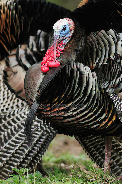 Wild Turkey (Meleagris gallopavo), males displaying, New Braunfels, San Antonio, Hill Country, Central Texas, USA
