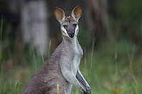 Pretty-faced (or Whip-tailed) Wallaby at Lamington National Park