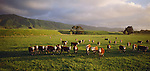 Hereford cattle on green farmland near Linton. Manawatu/Whanganui Region New Zealand.