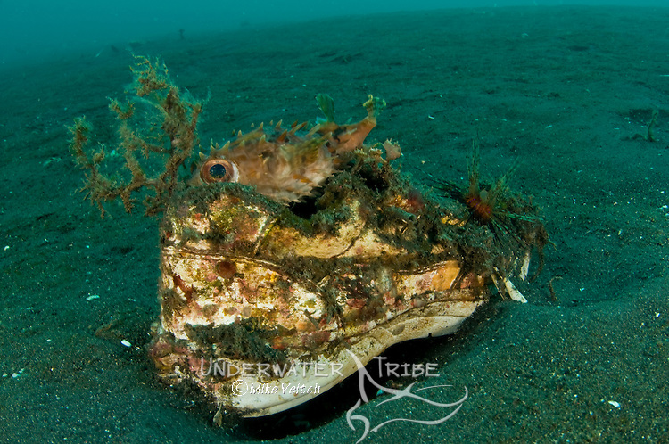 Orbicular Burrfish resting on an old shoe, Cyclichthys orbicularis, Lembeh Strait, Manado, North Sulawesi, Indonesia, Pacific Ocean