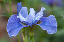 Iris sibirica 'Blaue Milchstrasse', mid May.