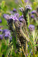 Lace-leaf or Fat-leaf Phacelia (Phacelia distans) in the Antelope Valley near Lancaster, California