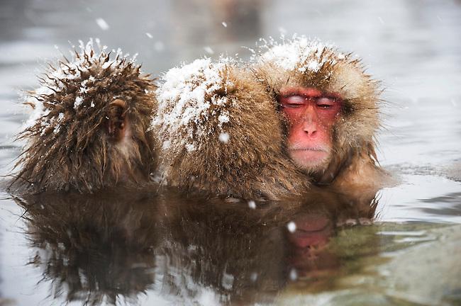 JAPAN, NEAR NAGANO, JIGOKUDANI, SNOW MONKEYS (Japanese Macaque), SITTING IN HOT SPRING