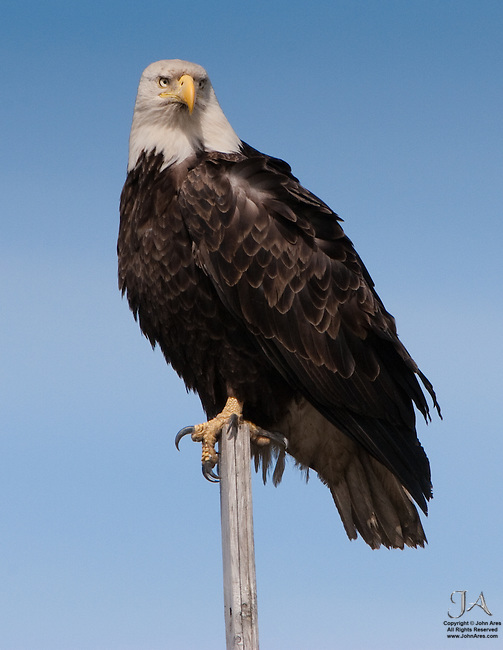 Bald Eagle watchful on a perch on Homer Spit in Alaska.