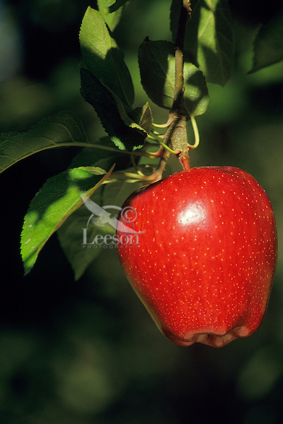 Red Delicious Apple.