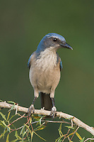 Western Scrub-Jay,  Aphelocoma californica, adult on Agarita (Berberis trifoliolata), Uvalde County, Hill Country, Texas, USA, April 2006