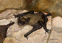 MA20-701z  Big Brown Bat 4 week old young,  Eptesicus fuscus