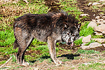 grey wolf tan, brown and grey color phase full body view eating venison facing right
