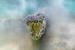 Mexico, Quintana Roo, Yucatan Peninsula, Bancho Chinchorro Biosphere Reserve, American crocodile (Crocodylus acutus)<br /> <br /> IUCN redlist status Vulnerable
