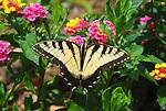 Eastern Tiger swallowtail on lantana