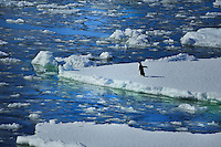 ANTARKTIC PENINSULA -  LEMAIRE CHANNEL<br /> Drifting ice floes with Adelie Penguin <br /> <br /> Full size: 69,2 MB