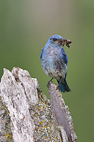 Mountain Bluebird with insect