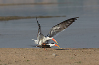 Indian Skimmers on the Chambal River in Uttar Pradesh, India