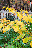 Hamamelis Pallida with Hostas in autumn fall matching foliage color, picket fence