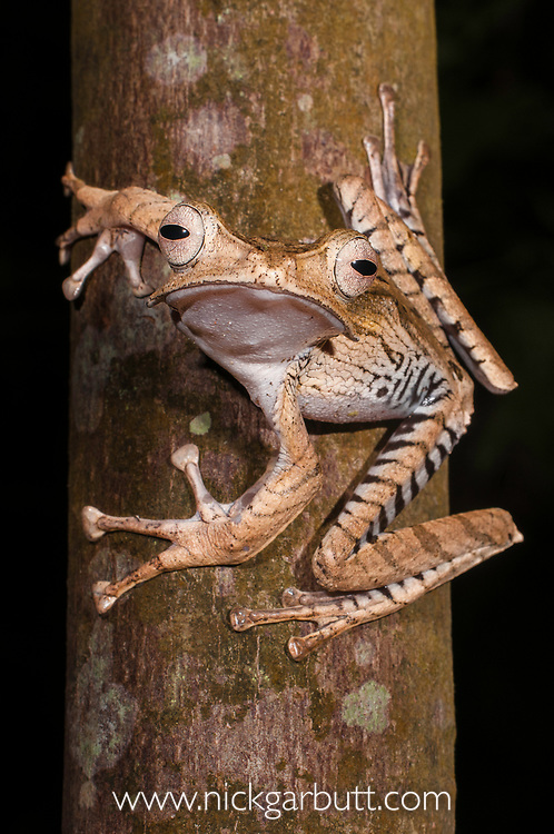 Bornean file-eared frog (Polypedates otilophus), large female. Danum Valley, Sabah, Borneo.