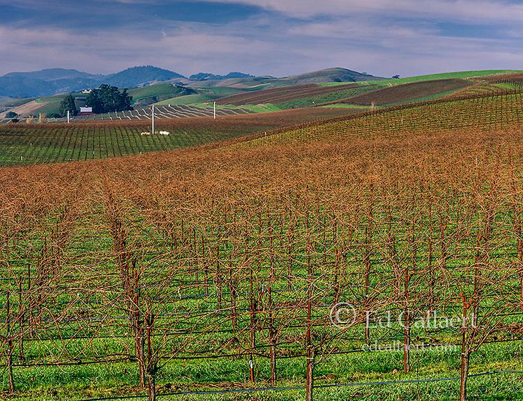 Winter Vineyards, Carneros District, Napa Valley, California