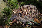 European or Common Hedgehog (Erinaceus europaeus) foraging in leaf litter. Deciduous woodland, Isle of Mull, Scotland.